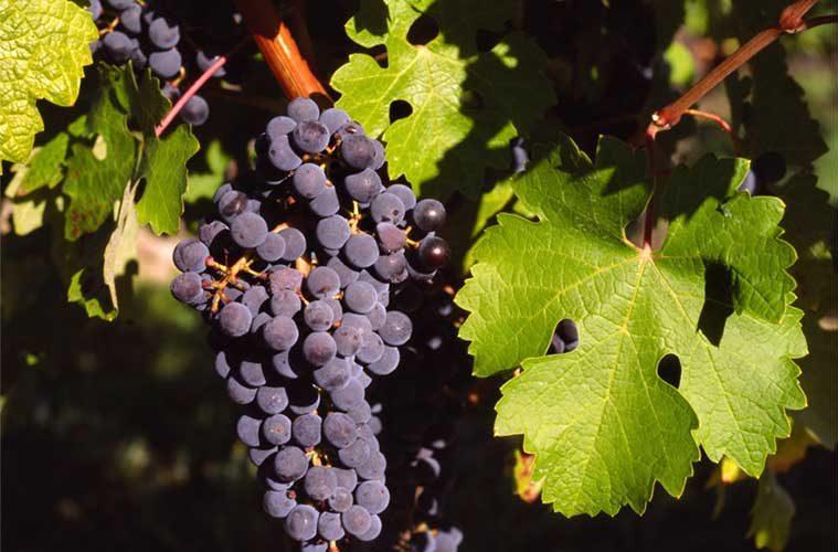 Vino somontano / Foto: BenutzerBerndtF (vía Wikimedia Commons)
