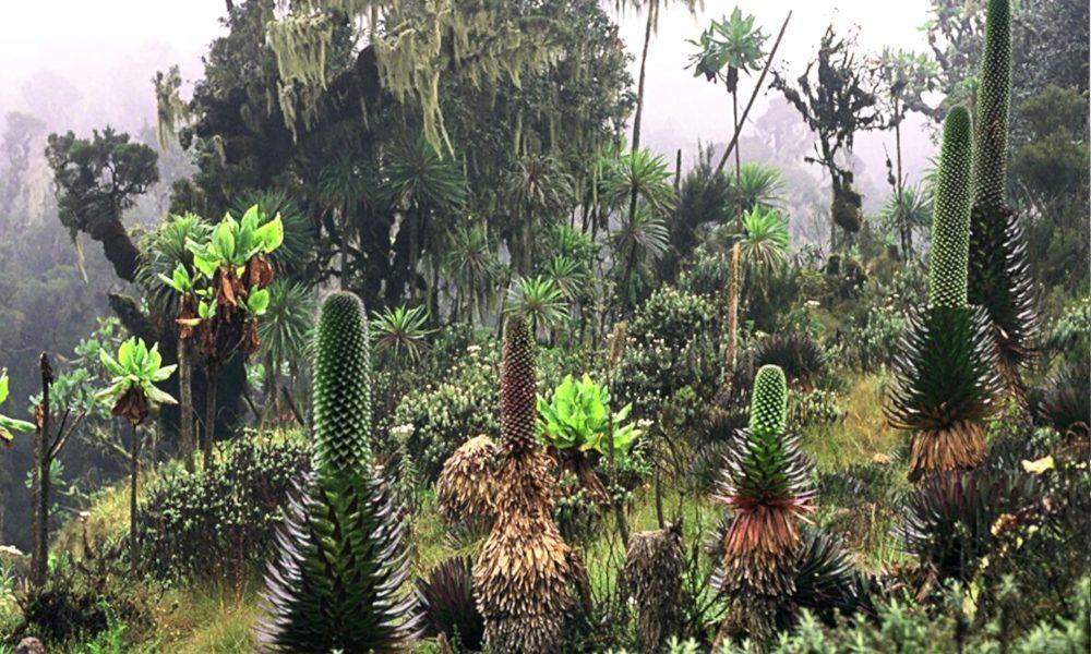 Trekking Rwenzori / Foto: Manuel Werner [CC BY-SA 2.5] Wikimedia Commons