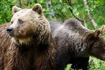Gracias al PirosLIFE, los Pirineos incrementarán los osos pardos