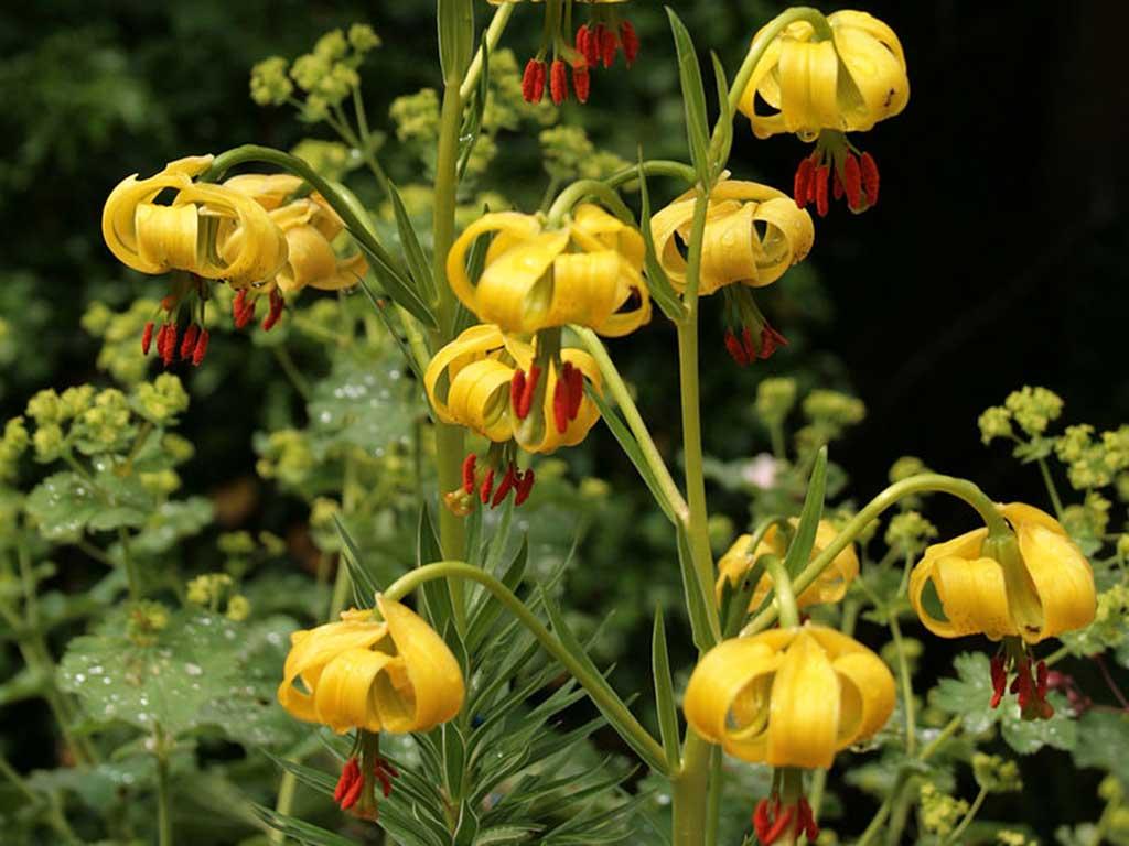 Lilium Pyrenaicum / wikipedia_Web