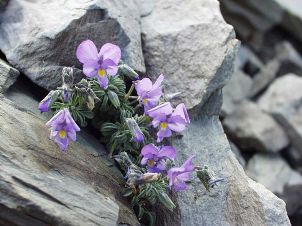 Viola diversifolia / Wikipedia