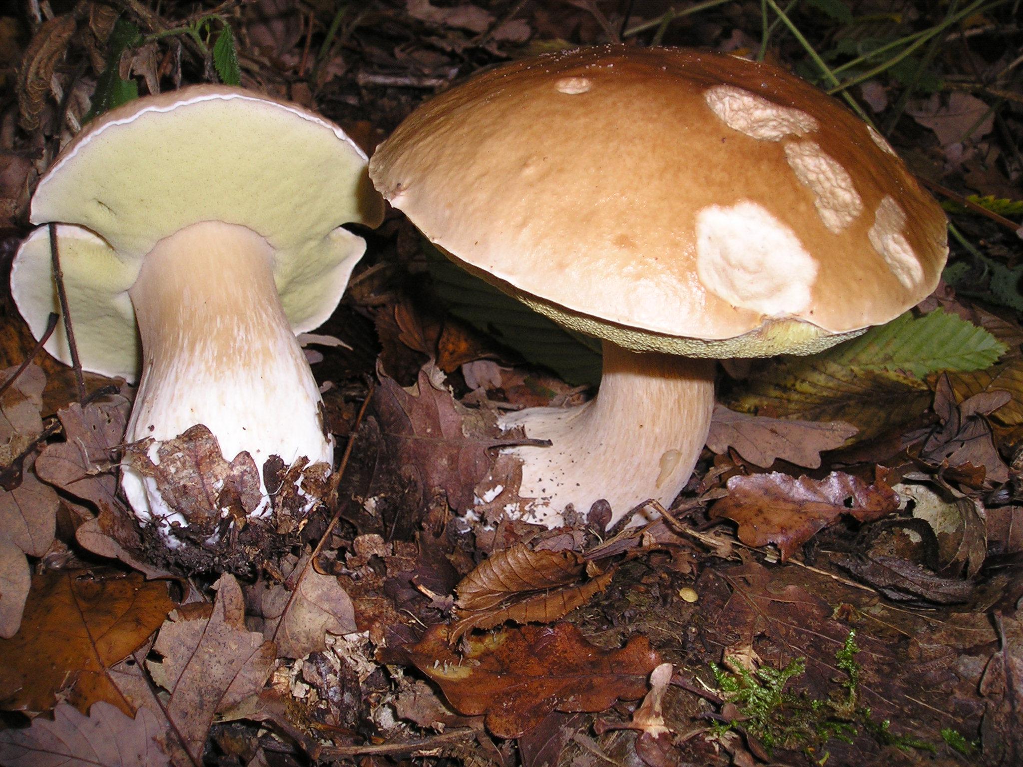 Boletus edulis / Foto: Strobilomyces (Wikimedia Commons)