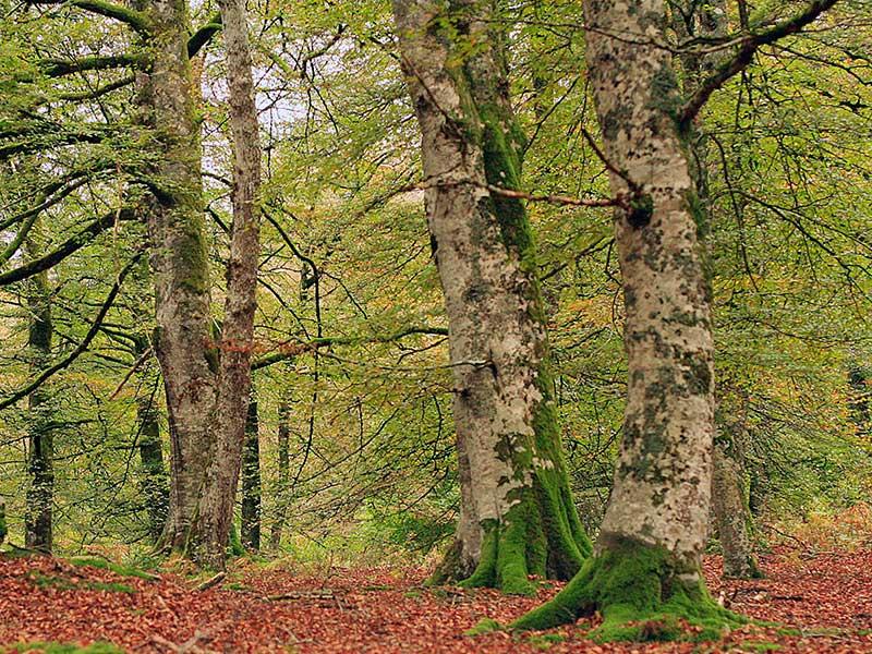 Bosque de Irati en otoño / Foto: Miguel Ángel García [CC-BY-2.0]